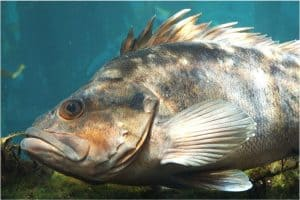 Why should I be cautious while having rockfish during pregnancy