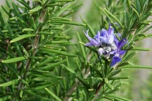 Can I consume Rosemary for pain relief during pregnancy?