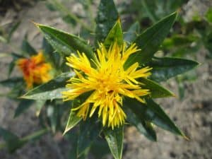 Can I have Safflower oil when pregnant?