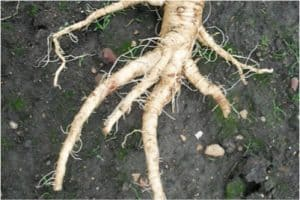 What kind of nutrition does salsify give pregnant women?