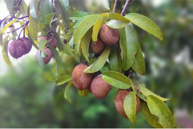 What are the benefits of having sapodilla during pregnancy