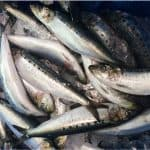 How does including sardine in your pregnancy diet help with neonatal development