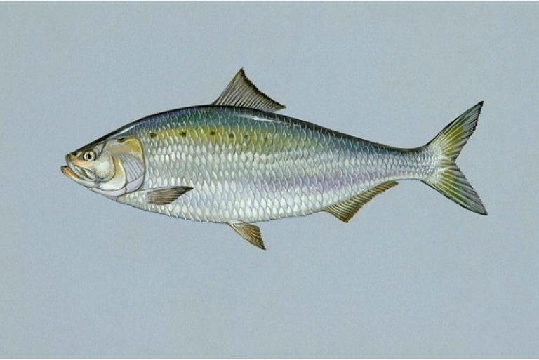 What are the benefits of having shad during pregnancy?