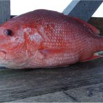 Why should I limit my intake of snapper during pregnancy