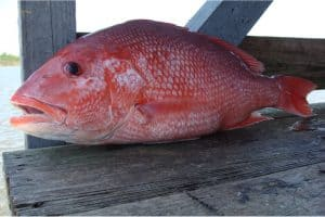 Why should I limit my intake of snapper during pregnancy?