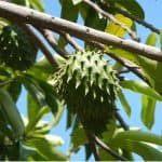 Why is it good to include soursop in my pregnancy diet