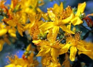 Can I have St. John's Wort when pregnant?