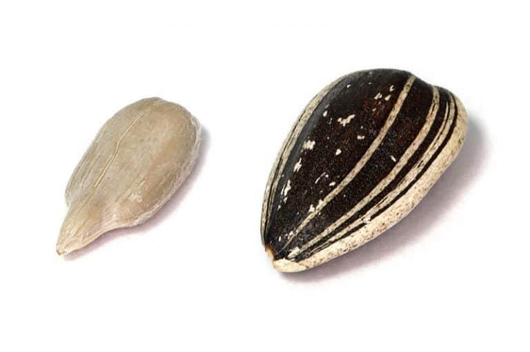 sunflower-seed-kernel
