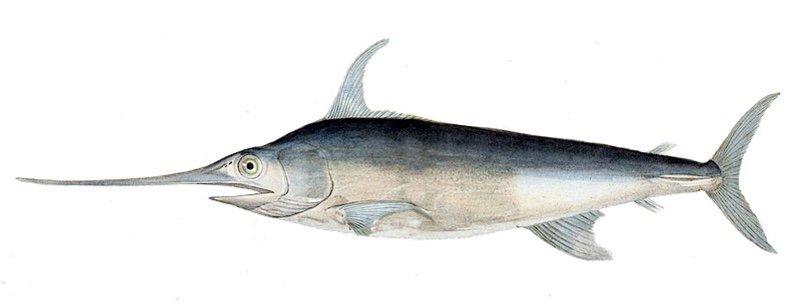 Why is eating swordfish dangerous for pregnant women