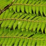 Can I have Tree fern during pregnancy