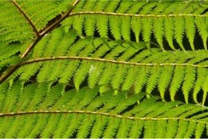 Can I have Tree fern during pregnancy?