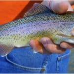What are the benefits of having trout during pregnancy