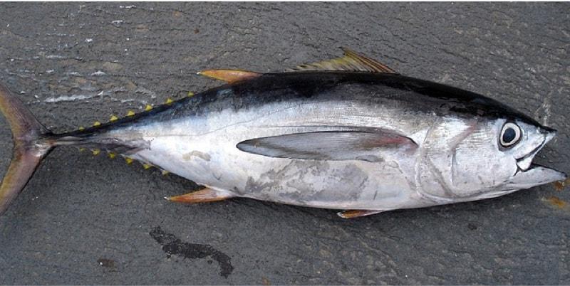 What precautions should pregnant women take before eating tuna