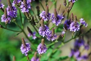 Can I have Vervain when pregnant?