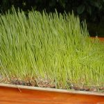 Can pregnant women have wheatgrass juice safely?