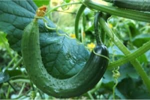 What benefits does the white-flowered gourd give during pregnancy?