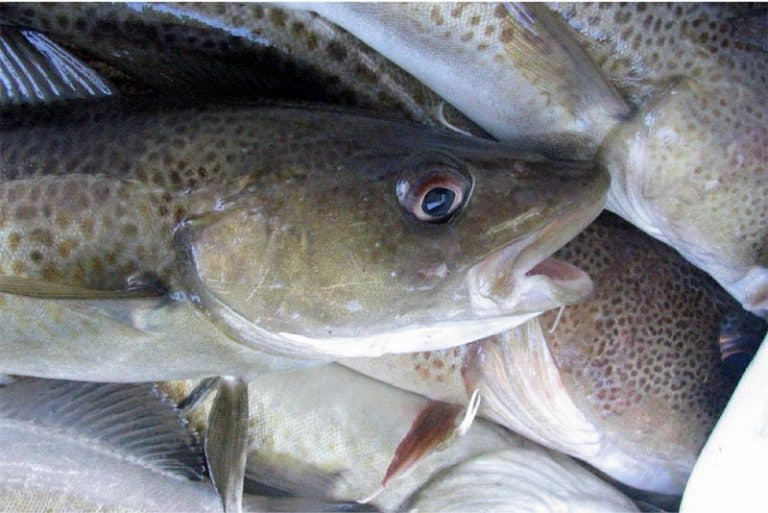 Are there any benefits of having whitefish during pregnancy
