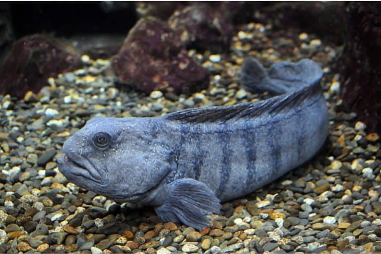 Do I need to be cautious while having wolffish during pregnancy