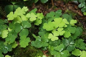Can I have Wood Sorrel when pregnant?