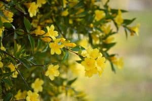 Can I have Yellow Jasmine when pregnant?